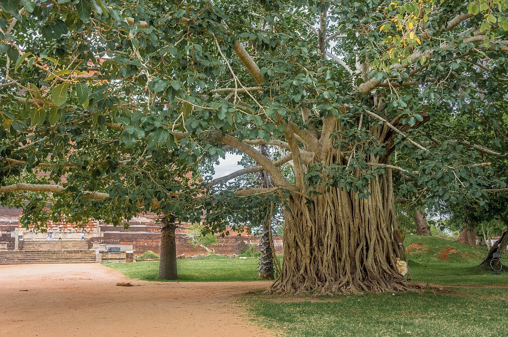 Anuradhapura ancient city - tree