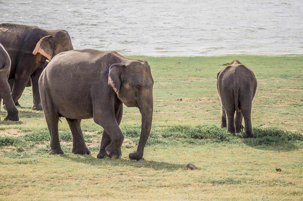 Minneriya national park -  elephants