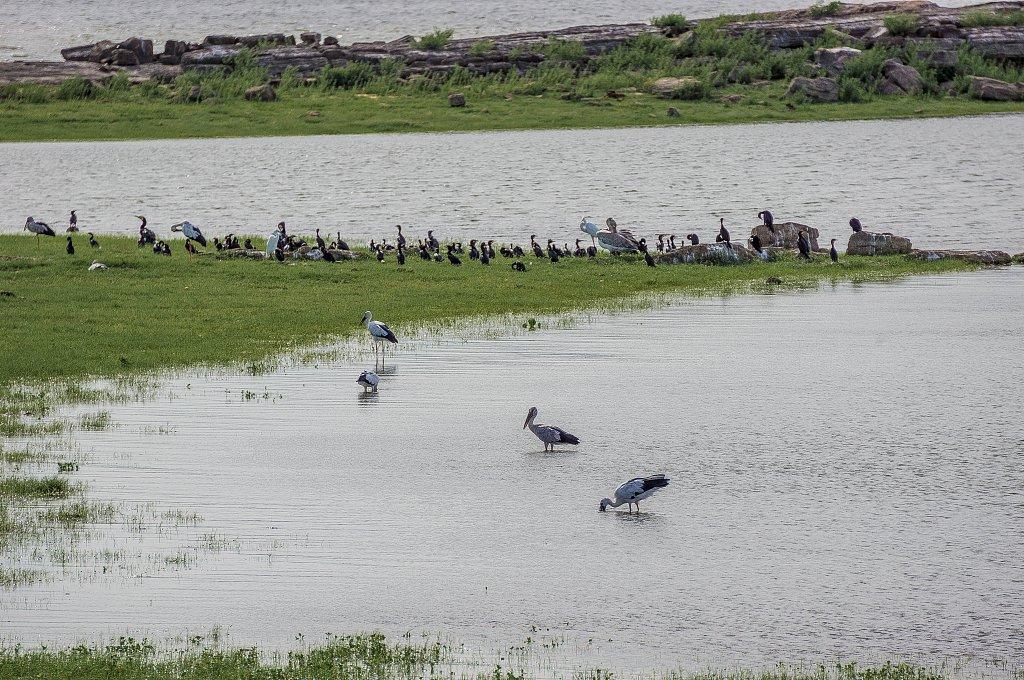 Minneriya national park -  birds