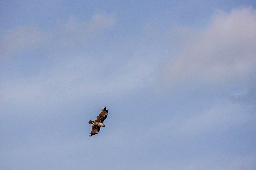 Minneriya national park -  eagle