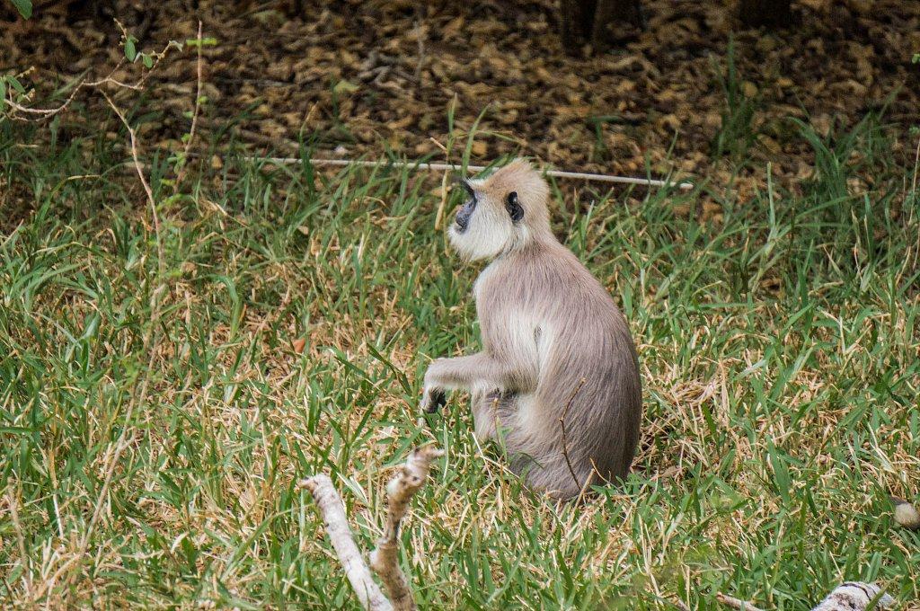 Minneriya national park -  monkey
