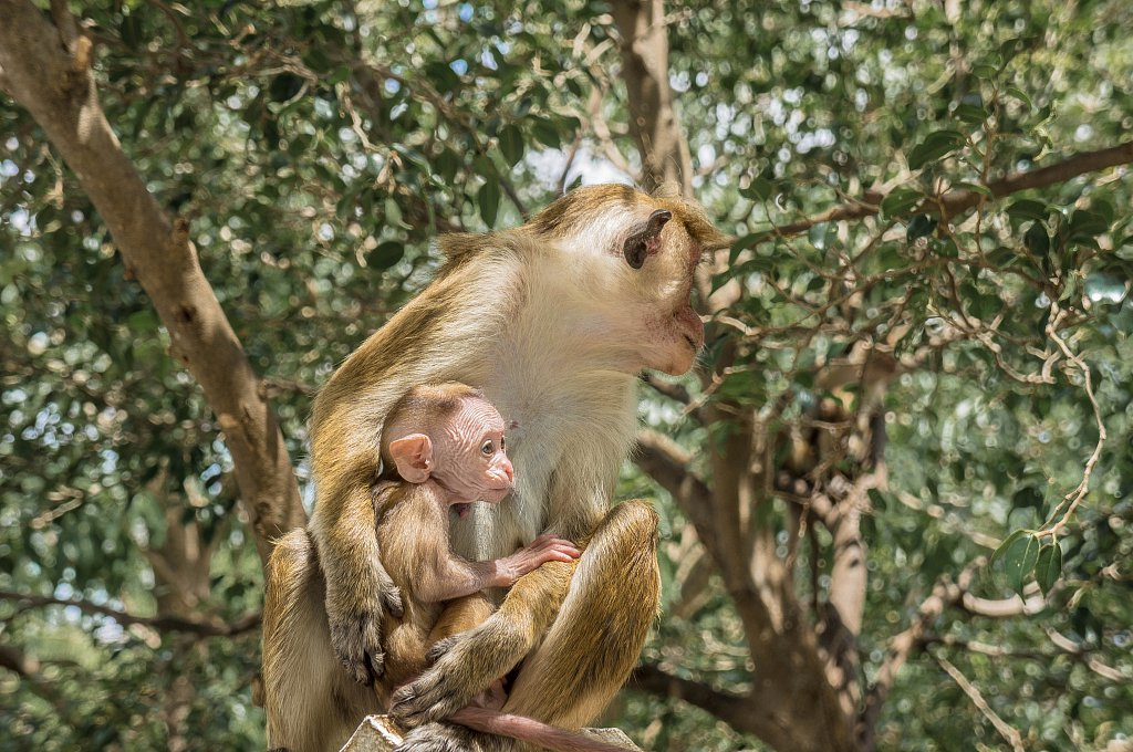 Dambulla - monkeys