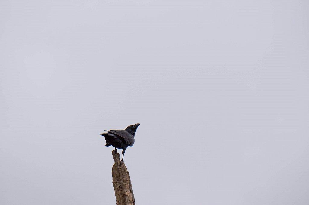 Horton Plains - crow