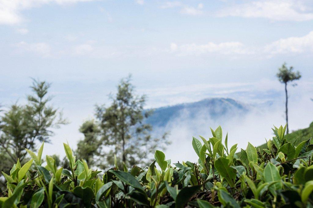 Dambatenne - tea plantations