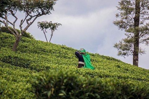 Dambatenne, tea harvest