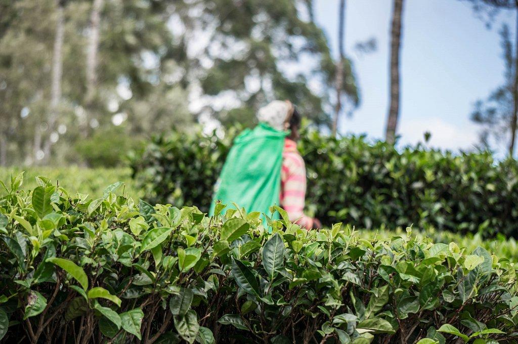 Dambatenne - tea plantations harvest time
