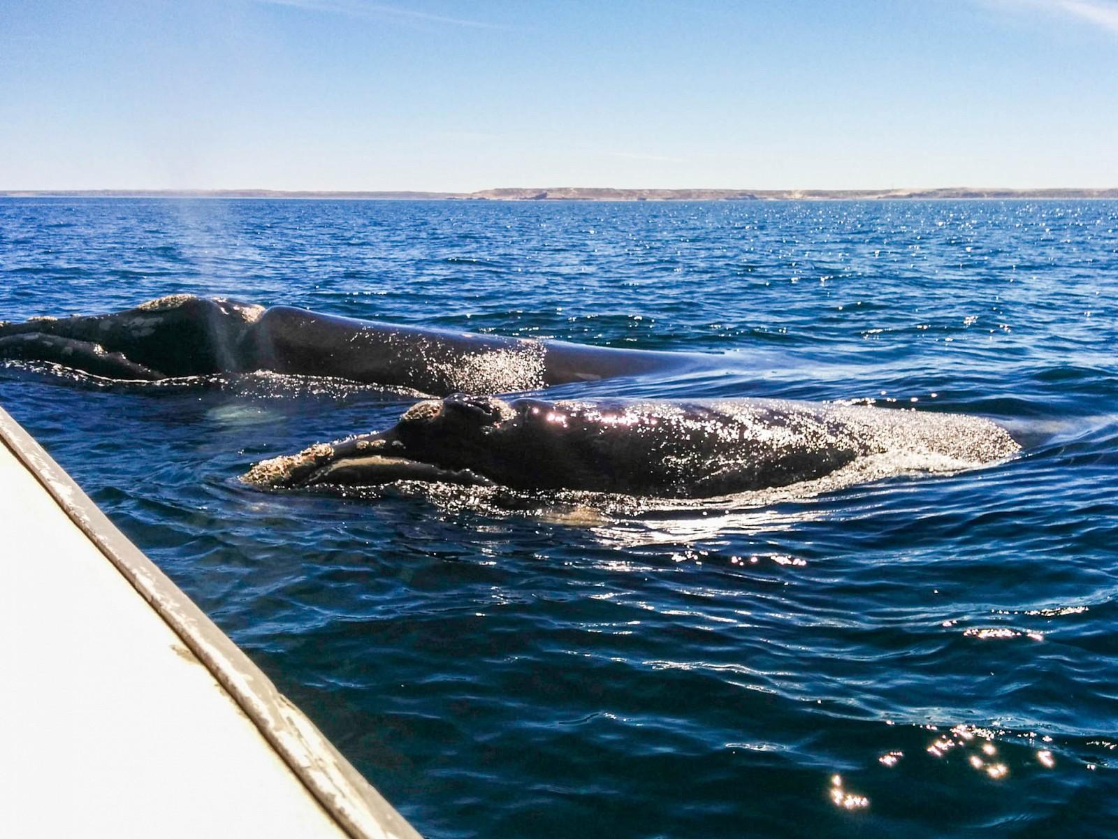 Péninsule Valdés : baleines franches