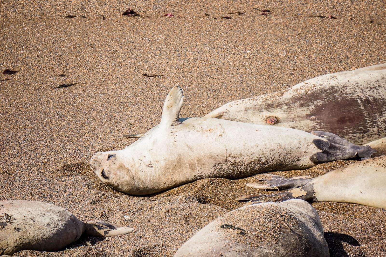 Péninsule Valdés : éléphants de mer