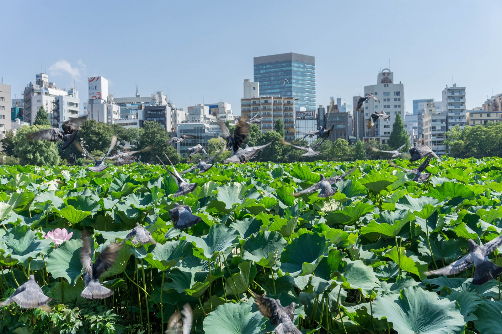 Lotuses at Ueno park
