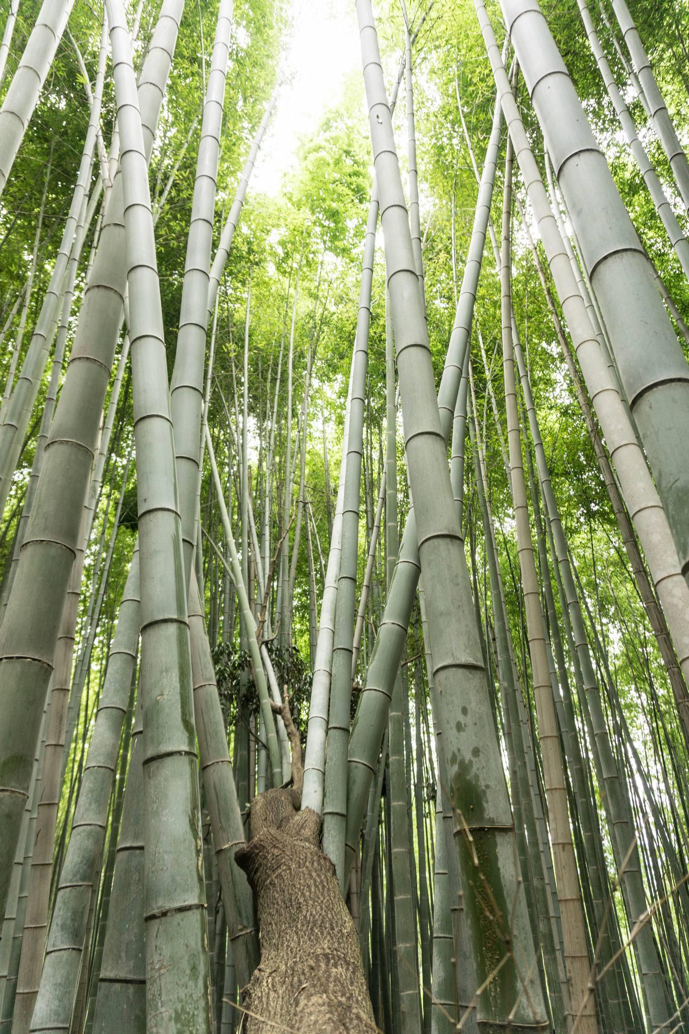 Forêt de bambou d'Arashiyama